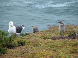 Mommy seagull and babies at the Shore Cliff Lodge, Pismo Beach, CA