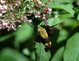 Hummingbird Moths (Common Clearwing)