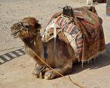 Camel in Cappadocia