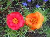 Portulaca or Rose Moss
