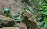 Mealy and Yellow-crowned Parrots