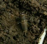 Unidentified Nymph