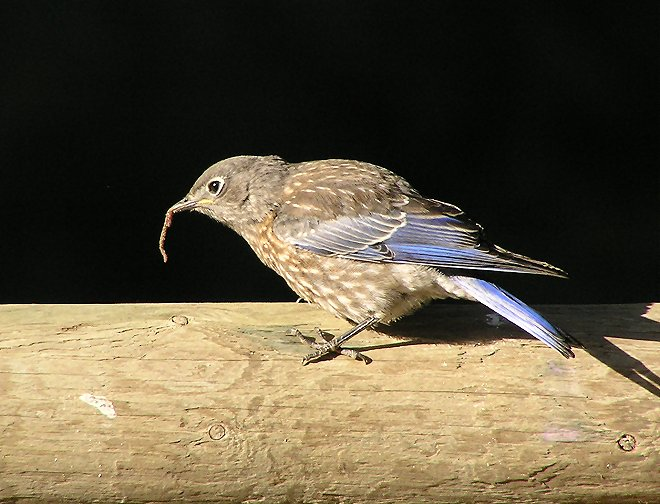 western blue juvy  with worm.jpg