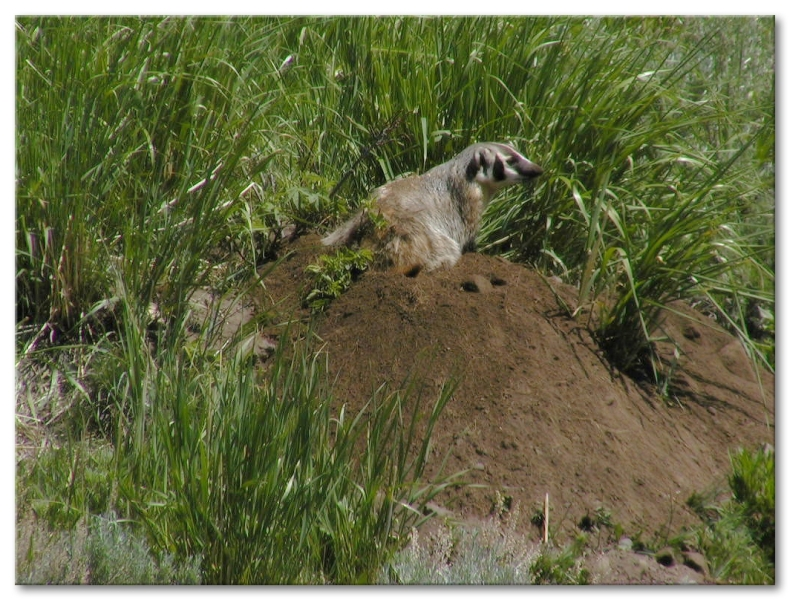 coyote and badger symbiotic relationship