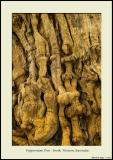 Peppermint Tree - Peppermint Grove