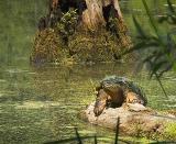 Turtle on a Log1
