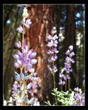 Lavender Color
