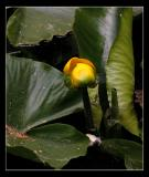 Ahwahnee Lily Pond