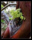 Manzanita Moss