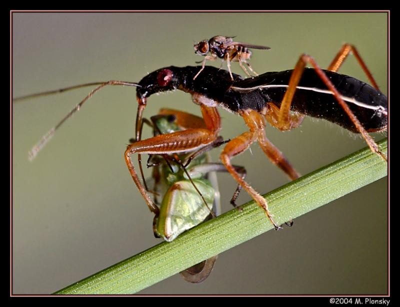 Nabidae (with scavanger) feeding on a Miridae