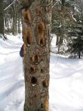 Woodpeckers job.jpg