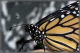 fostered Monarch