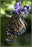 fostered Monarch III