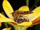 Hover-Fly  (Syrphus-ribesii) 07