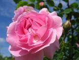 Fenway Rose