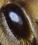 Double size plus 150% enlarged crop of bee's eye detail