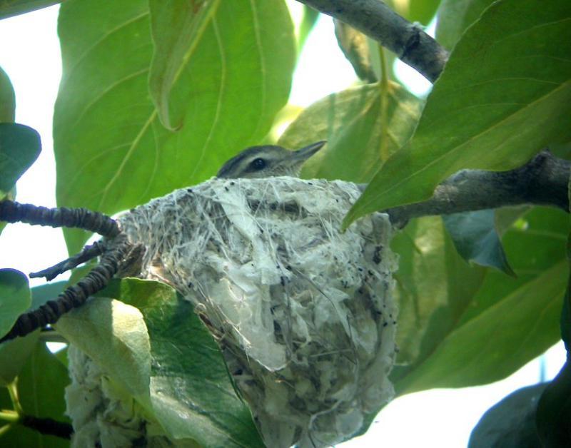 Warbling Vireo Nest 0604-2j  Upper Tieton River