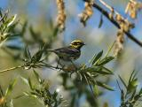 Townsend's Warbler 0504-1j  Umtanum Creek