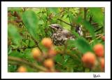 Second Fledgling--Safe in the Berry Bushes
