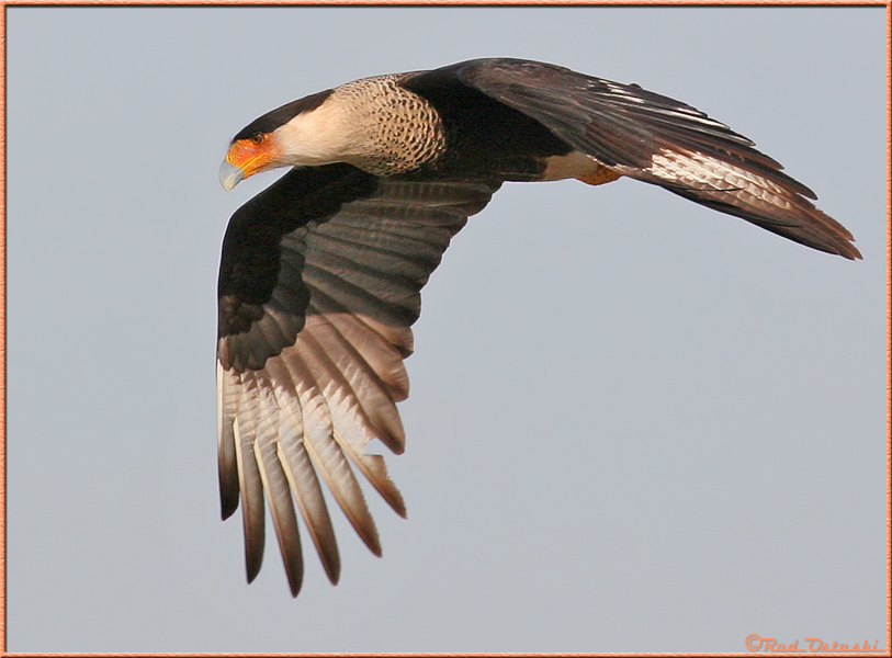 Caracara in-flight