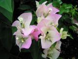Lavender bougainvillea (Bougainvillea)