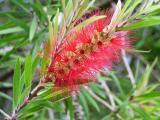 Scarlet Bottlebrush, (Callistemon) Myrataceae