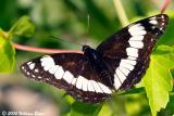 Weidemeyer's  Admiral Butterfly.jpg