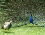 peacock_6078.jpg