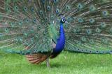 peacock_6137.jpg