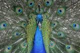 peacock_6180.jpg