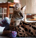 kiera_african_serval