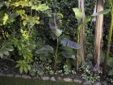 Musa sikkimensis