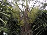 Trachycarpus setting seed again