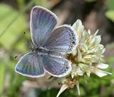 Eastern Tailed Blue - Everes comyntas male