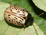 Leaf Beetles -  Subfamily Chrysomelinae