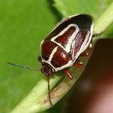 Perillus circumcinctus