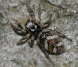 female Zebra Spider - Salticus scenicus