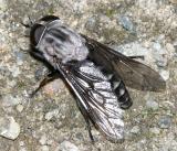 Tabanus superjumentarius (female)
