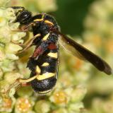 Leucospis affinis (female)