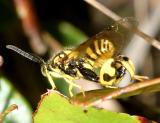 Conura nigricornis