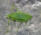 Amblycorypha sp. (female)