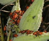 small milkweed bugs - Lygaeus kalmii