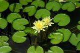 Lilly Pad Flower Yellow