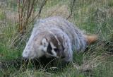 Digging Badger