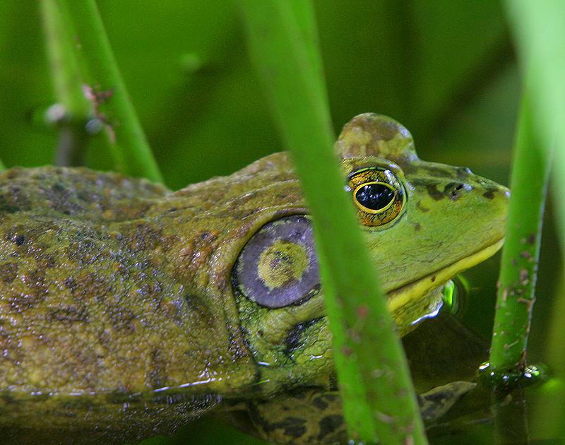 Bull Frog 2
