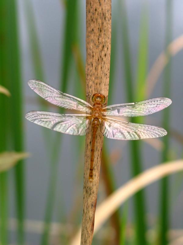 Dragonfly on Echo Pond