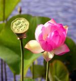 Lotus and lotus pod