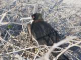 147 Frigate Bird.jpg