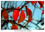 Cherry Leaves in the Morning Sun