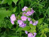 Phlox sp.